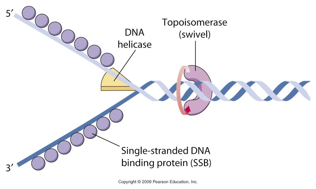 Enzymology of DNA replication