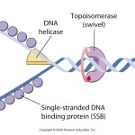Enzymology of DNA replication , 5 Outline Of Dna Replication In Cell Category