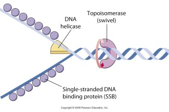 Enzymology of DNA replication in Cell