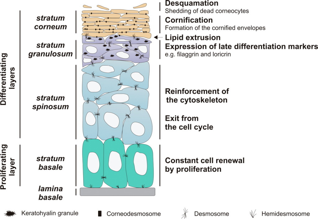 Epidermis structure labels