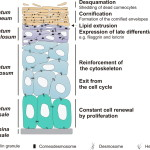 Epidermis structure labels , 7 Skin Structure Anatomy Diagrams In Cell Category