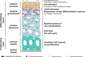Epidermis structure labels in Cell