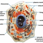 Eukaryotic Cell Structure , 7 Eukaryotic Cell Structure In Cell Category