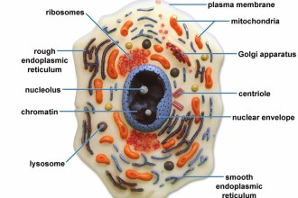 Eukaryotic Cell Structure in Butterfly