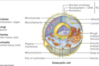 Eukaryotic Cell Structure Function , 7 Eukaryotic Cell Structure In Cell Category