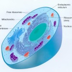 Eukaryotic Cell Structures Image , 7 Eukaryotic Cell Structure In Cell Category