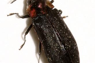 Eupristocerus Cogitans Wood Boring Beetle , 6 Pictures Of Wood Boring Beetle In Beetles Category