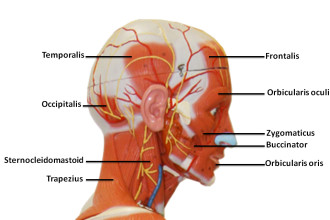 Facial Muscle Anatomy in Scientific data
