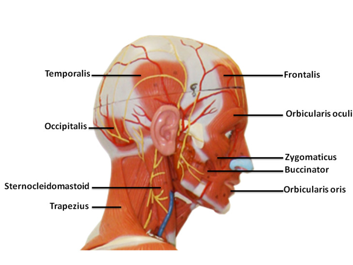 Muscles , 4 Facial Muscles Anatomy : Facial Muscle Anatomy