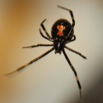 Female Juvenile Black Widow Spider pic 1 , 6 Female Juvenile Black Widow Spider Pictures In Spider Category
