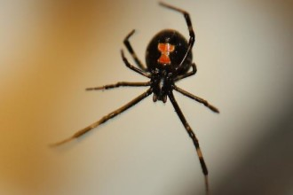 Female Juvenile Black Widow Spider pic 1 in Orthoptera