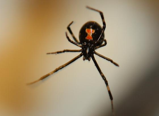 Female Juvenile Black Widow Spider pic 1