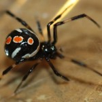 Female Juvenile Black Widow Spider pic 2 , 6 Female Juvenile Black Widow Spider Pictures In Spider Category