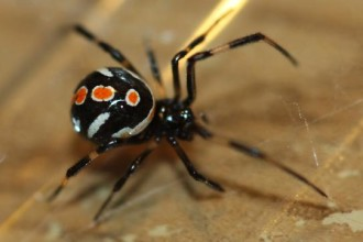 Female Juvenile Black Widow Spider pic 2 in Cell