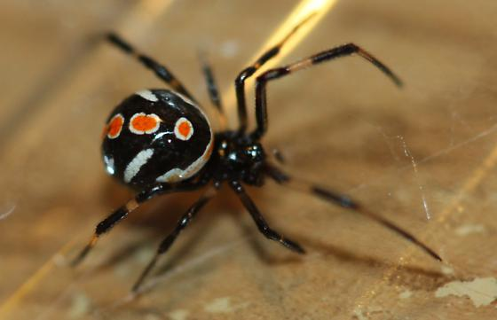 Spider , 6 Female Juvenile Black Widow Spider Pictures : Female Juvenile Black Widow Spider Pic 2