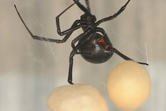 Female Juvenile Black Widow Spider Pic 3 , 6 Female Juvenile Black Widow Spider Pictures In Spider Category