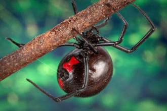 Female Juvenile Black Widow Spider Pic 4 , 6 Female Juvenile Black Widow Spider Pictures In Spider Category