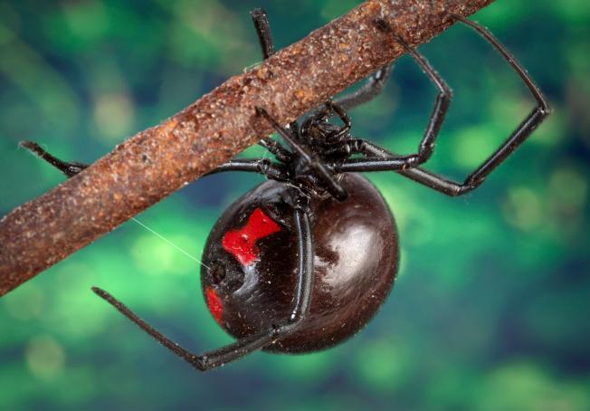 Spider , 6 Female Juvenile Black Widow Spider Pictures : Female Juvenile Black Widow Spider Pic 4