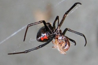 Female Juvenile Black Widow Spider Pic 5 , 6 Female Juvenile Black Widow Spider Pictures In Spider Category