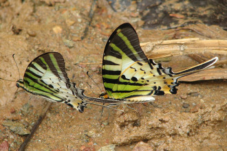 Five Bar Swordtail Butterfly in Vietnam in Spider