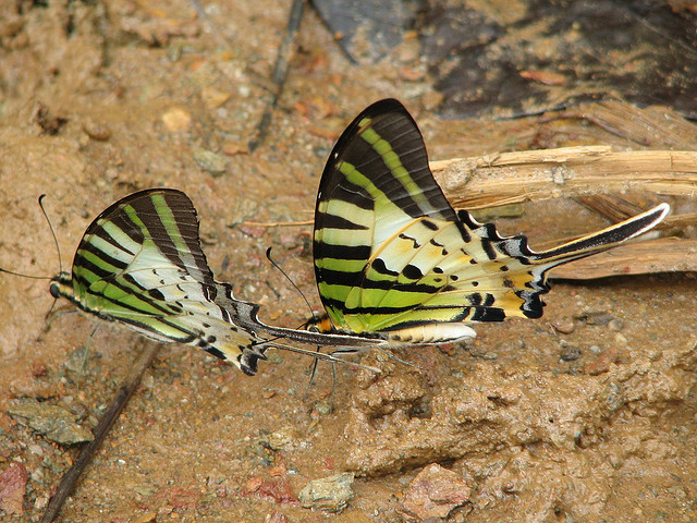 Butterfly , 6 Five Bar Swordtail Butterfly Picture : Five Bar Swordtail Butterfly In Vietnam