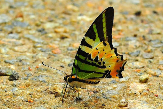 Five Bar Swordtail Butterfly Minus Tail , 6 Five Bar Swordtail Butterfly Picture In Butterfly Category