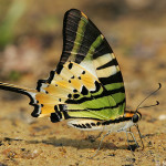 Five bar Swordtail butterfly , 6 Five Bar Swordtail Butterfly Picture In Butterfly Category