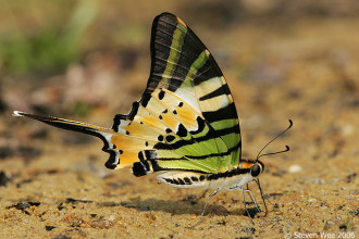 Five bar Swordtail butterfly in Spider