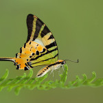 Five bar Swordtail butterfly capture , 6 Five Bar Swordtail Butterfly Picture In Butterfly Category