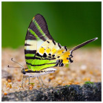Five bar Swordtail butterfly picture , 6 Five Bar Swordtail Butterfly Picture In Butterfly Category