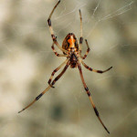 Florida Spider Picture , 6 Brown Spider Florida In Spider Category