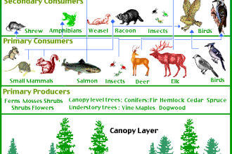 Food Chain in the Temperate Rain Forest Biome in Ecosystem