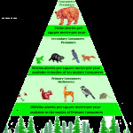 Food Pyramid in the Temperate Rain Forest Biome , 7 Diagrams Of Rainforest Animals Food Chain In Animal Category