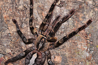 Fringed Ornamental Tarantula in Spider