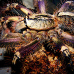 Fringed Ornamental Tarantula bites , 8 Fringed Ornamental Tarantula Pictures In Spider Category