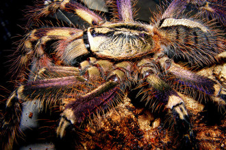 Fringed Ornamental Tarantula Bites , 8 Fringed Ornamental Tarantula Pictures In Spider Category