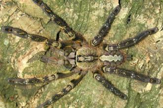 Fringed Ornamental Tarantula Fact , 8 Fringed Ornamental Tarantula Pictures In Spider Category