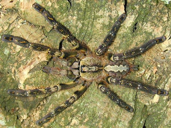 Spider , 8 Fringed Ornamental Tarantula Pictures : Fringed Ornamental Tarantula Fact