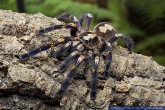 Fringed Ornamental Tarantula Images , 8 Fringed Ornamental Tarantula Pictures In Spider Category