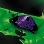 Fungus beetle ( Erotylidae ) rainforest Peru , 7 Rainforest Beetles Pictures In Beetles Category
