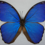 Giant Blue Butterfly Frame Real Specimen , 7 Blue Morpho Butterfly Specimen In Butterfly Category