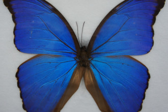 Giant Blue Butterfly Frame Real Specimen in Cell