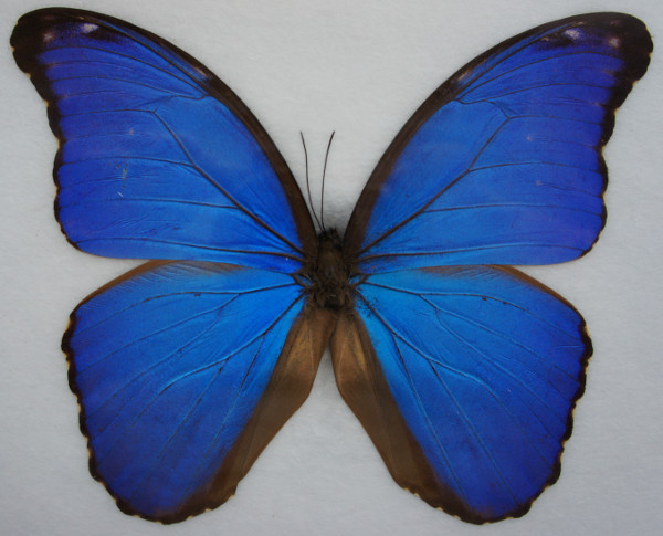 Giant Blue Butterfly Frame Real Specimen