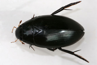 Giant Water Scavenger Beetle , 7 Water Bug Beetle In Beetles Category