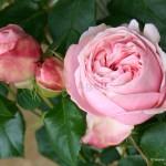Giardina Modern Roses , 7 Modern Roses Names In Plants Category