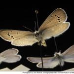 Glaucopsyche lygdamus palosverdesensis , 5 Palos Verdes Blue Butterfly Species In Butterfly Category