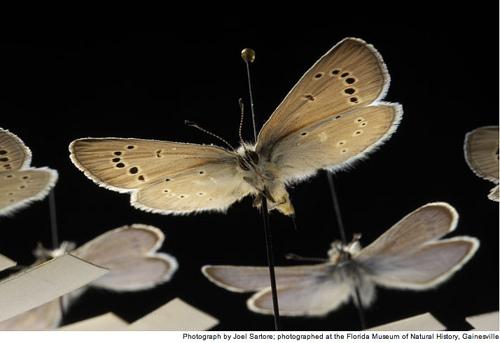 Butterfly , 5 Palos Verdes Blue Butterfly Species : Glaucopsyche Lygdamus Palosverdesensis