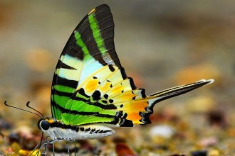 Graphium Antiphates Butterfly , 6 Five Bar Swordtail Butterfly Picture In Butterfly Category