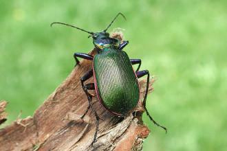 Green Beetle , 7 Green Beetle Bug In Beetles Category