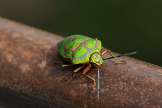 Green Beetle Bug Of China , 7 Green Beetle Bug In Beetles Category